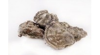 Large Oysters